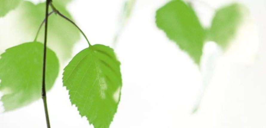 Koivun suloista tuoksua kannattaa laittaa talteen myös talven varalle.