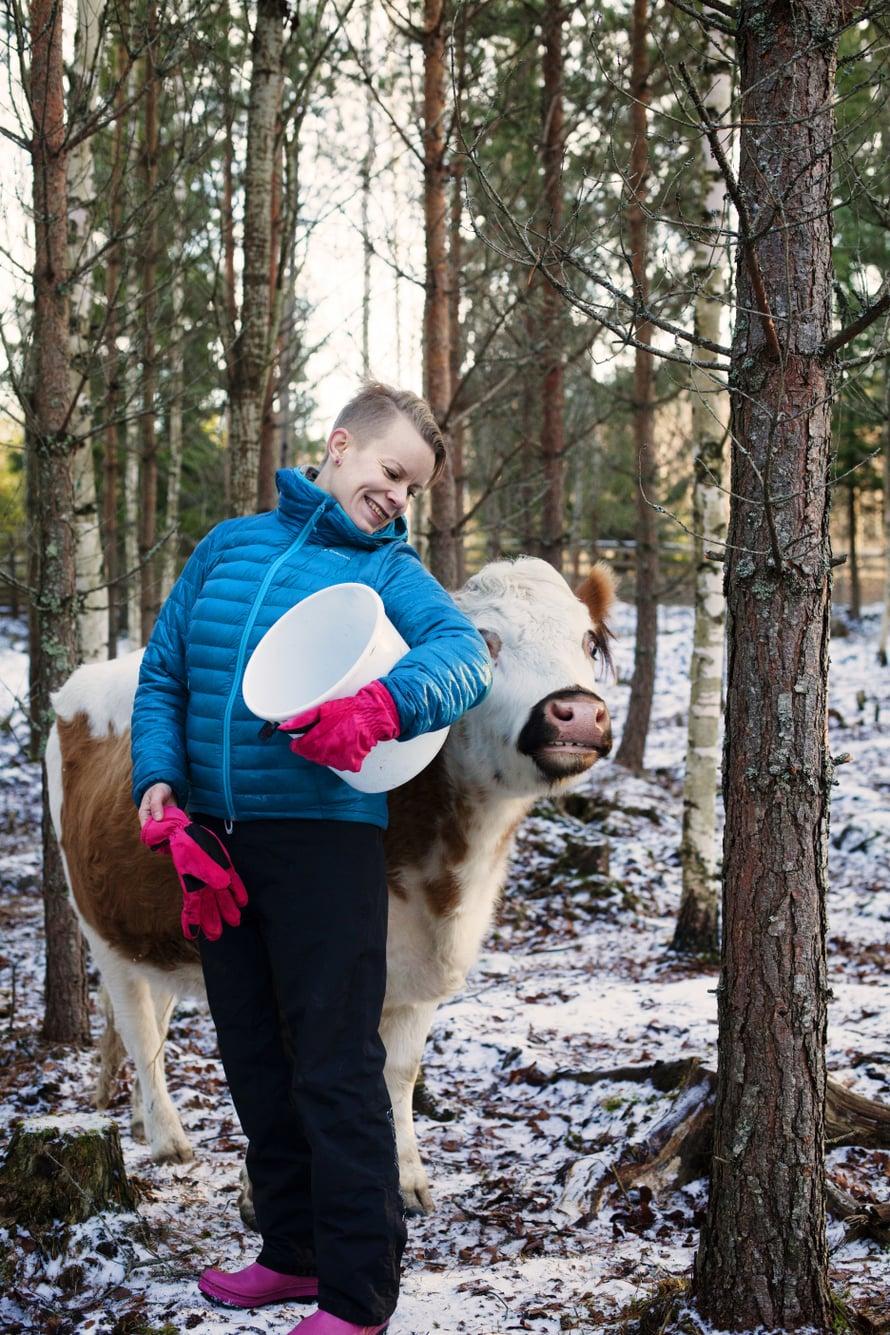 Kyyttöhärkä Nunnu saa elää harvinaisen elämän. Tavallisesti sonnivasikat teurastetaan heti, kun ne ovat saaneet sopivasti painoa.