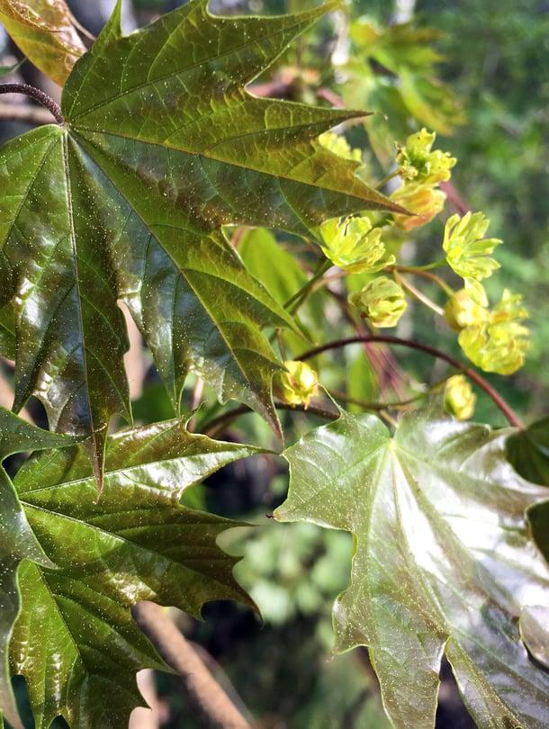 Vaahteraa voi syödä, kun sen lehdet vielä kiiltävät. Huuhtele siitepöly pois kylmällä vedellä ennen käyttöä.