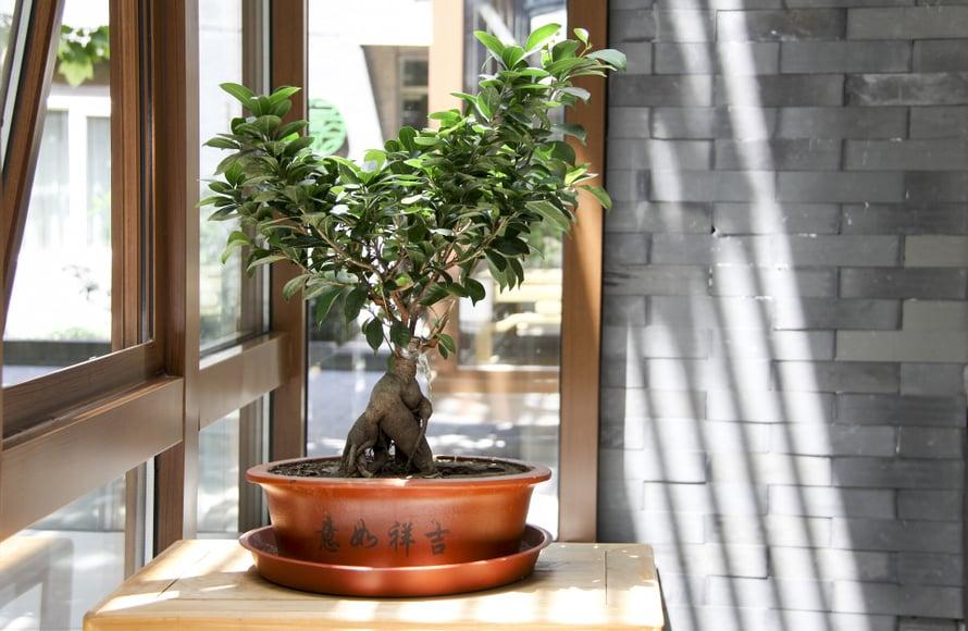 Bonsai-puuksi kasvatettu varjoviikuna viihtyy talvella melkein kuivana.