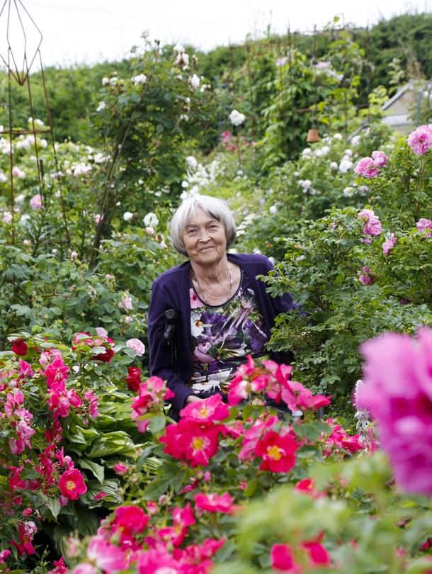Aili Myllylän ruusutarha sijaitsee omakotitalon pihassa Piikkiössä. Tarha sai alkunsa hullaantumisesta 15 vuotta sitten.