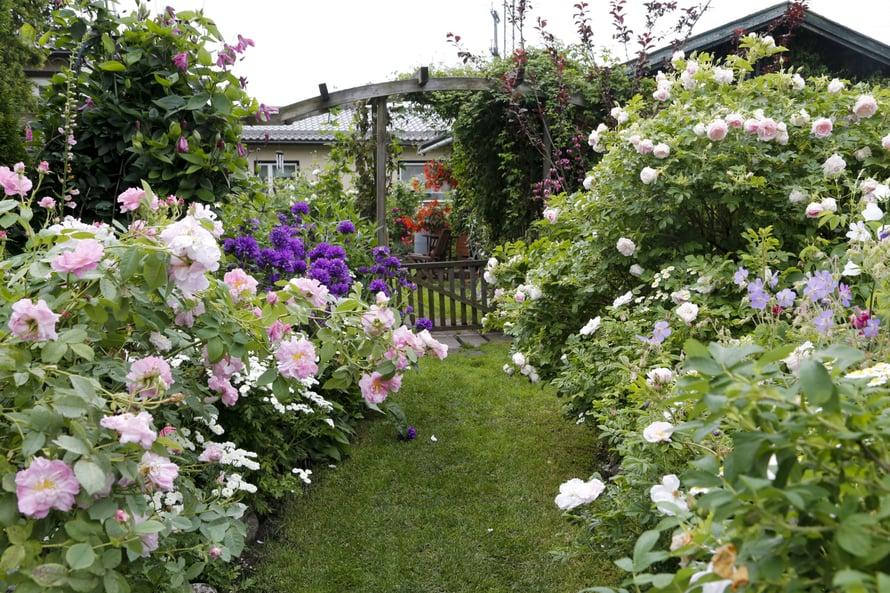 Ruusutarhan kapeat polut mutkittelevat kasvien välistä.