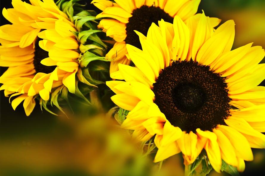 Yhdestä auringonkukasta saa kelpo kourallisen siemeniä.