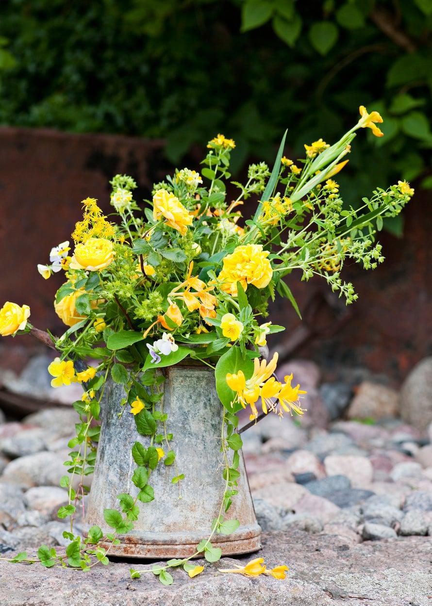 Varjoisassakin pihassa keltainen kukinto näkyy kauas.