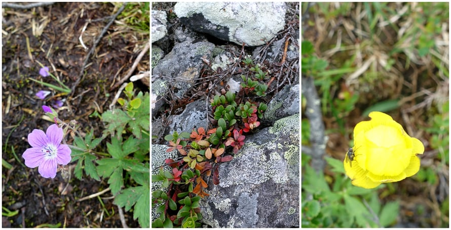 Tunturin jäkälien seassa ja rosoisilla kivillä kasvaa kaikkea kaunista.
