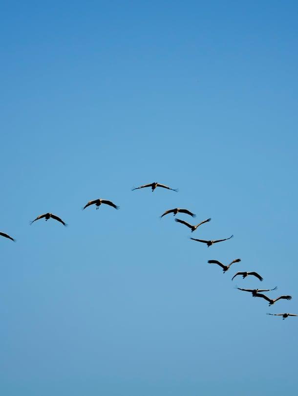 Kurkiaurat lentävät Suomen halki lähiviikkoina.