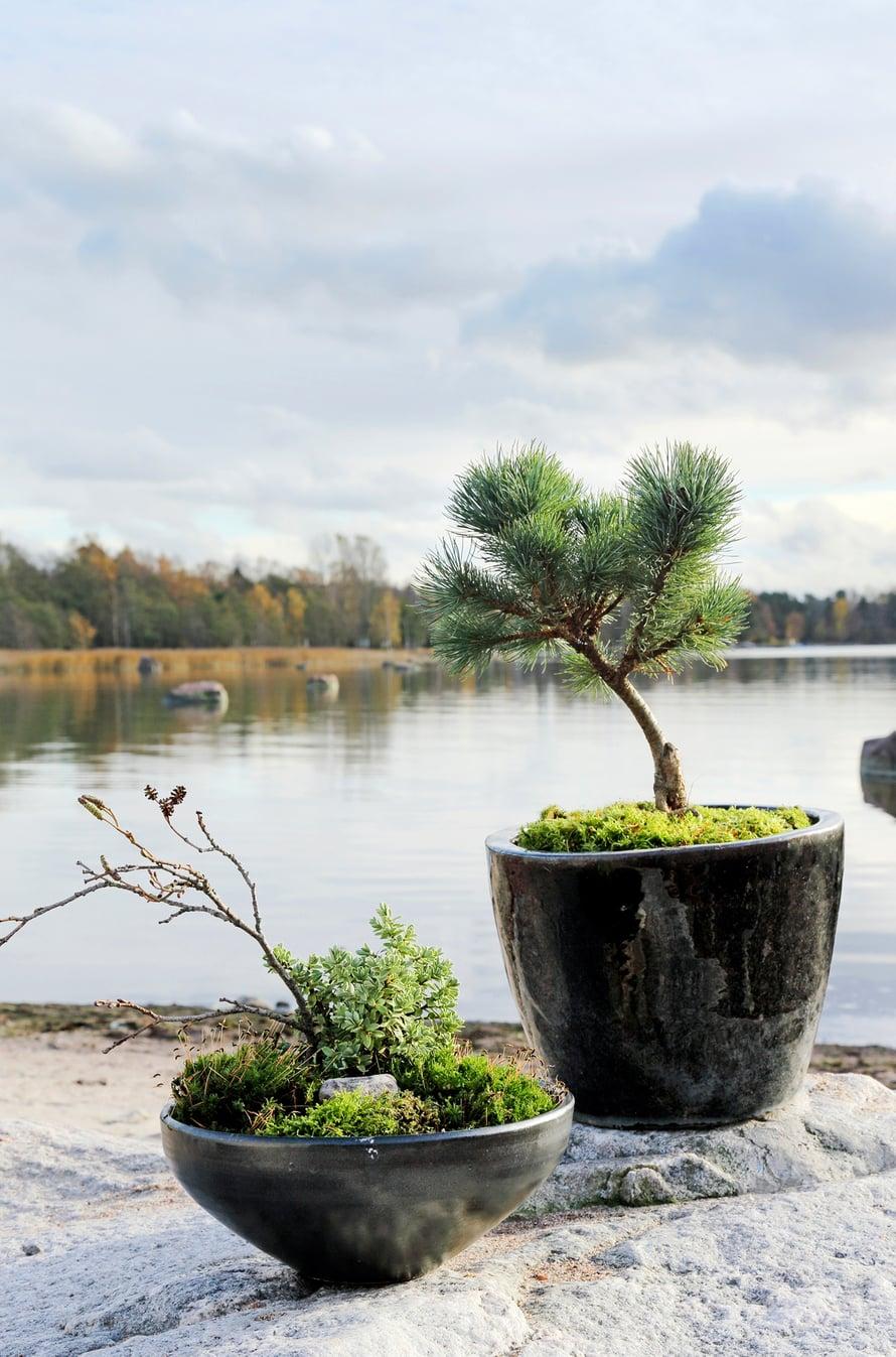 Pensas- ja kääpiösembrat ja vuorimännyt tuovat ruukkuihin istutettuina mieleen japanilaisten puutarhojen bonsait. Pienoismaiseman henkeen toteutetussa pienemmässä ruukussa kasvaa tädykettä, yksityiskohtana kuivahtanut lepänoksa urpuineen, kivi ja sammalkate.