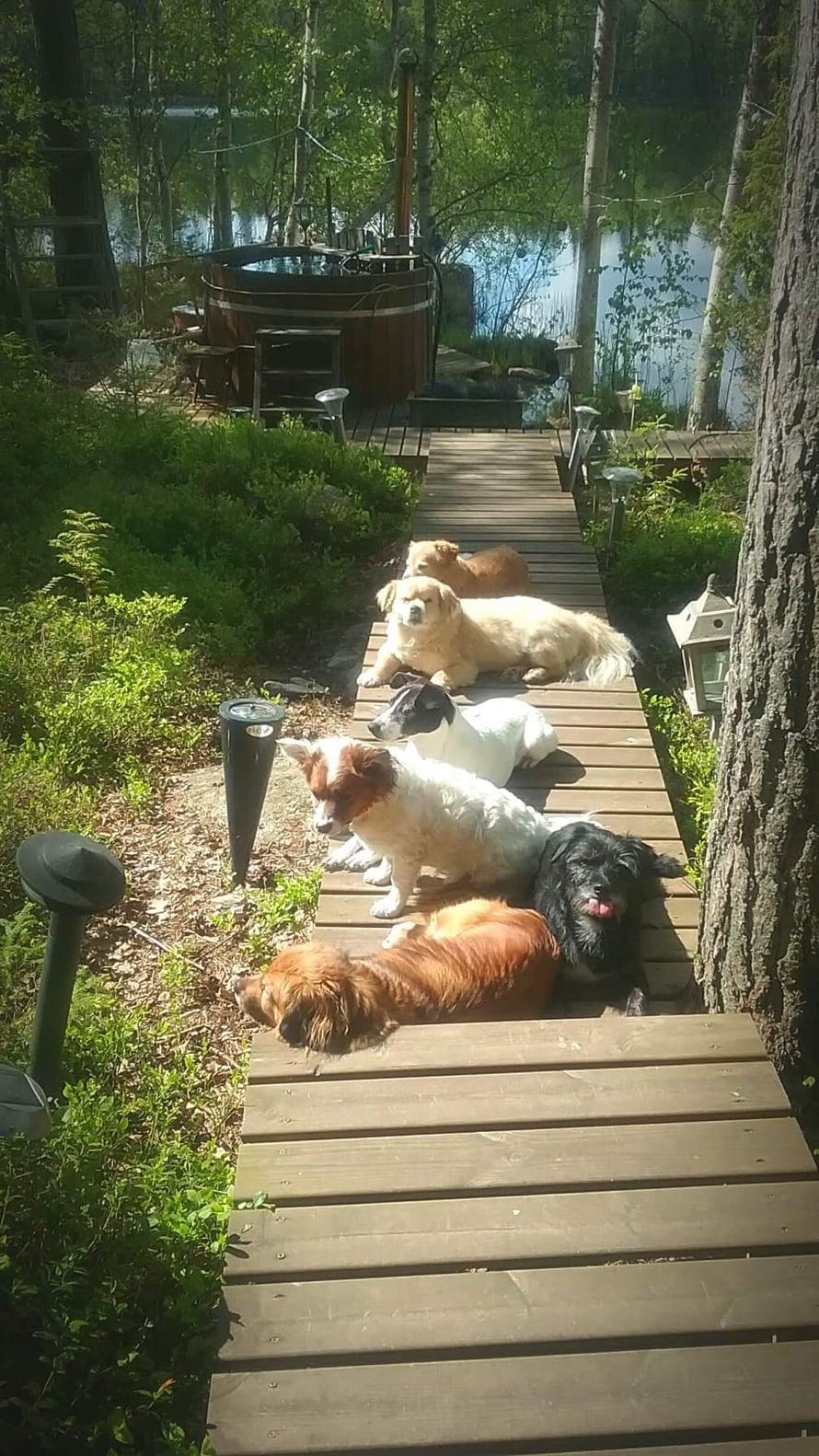 """Mökillä koiraporukka viihtyy laiturilla ja keinussa. """"Kaikkialla, mihin paistaa hyvin aurinko. Laiturilla niistä on ihana ottaa aurinkoa pitkät päivät."""""""