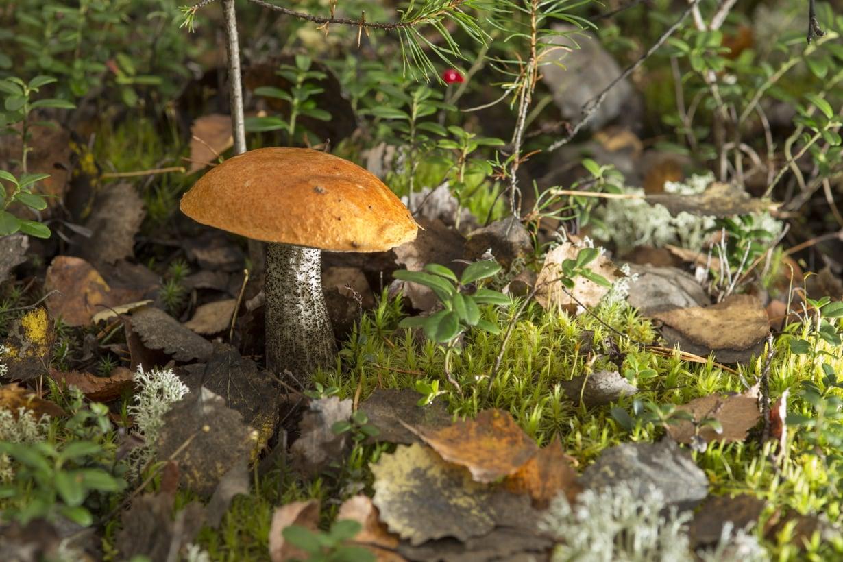 Metsien kätkössä odottaa punikkitatti ja moni muu herkkupala. Kuva: Pete Aarre-Ahtio.