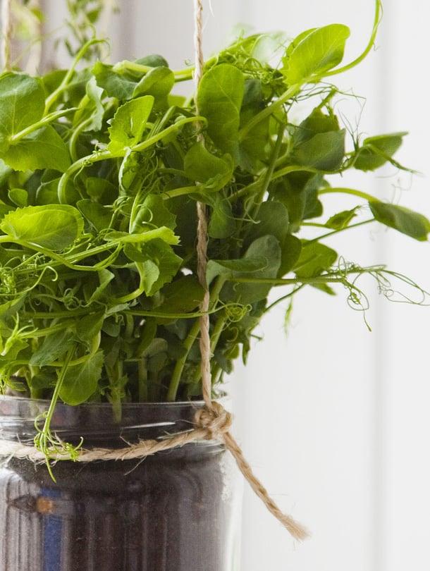 Lasipurkissa viihtyvät hyvin esimerkiksi herneenversot ja basilika.