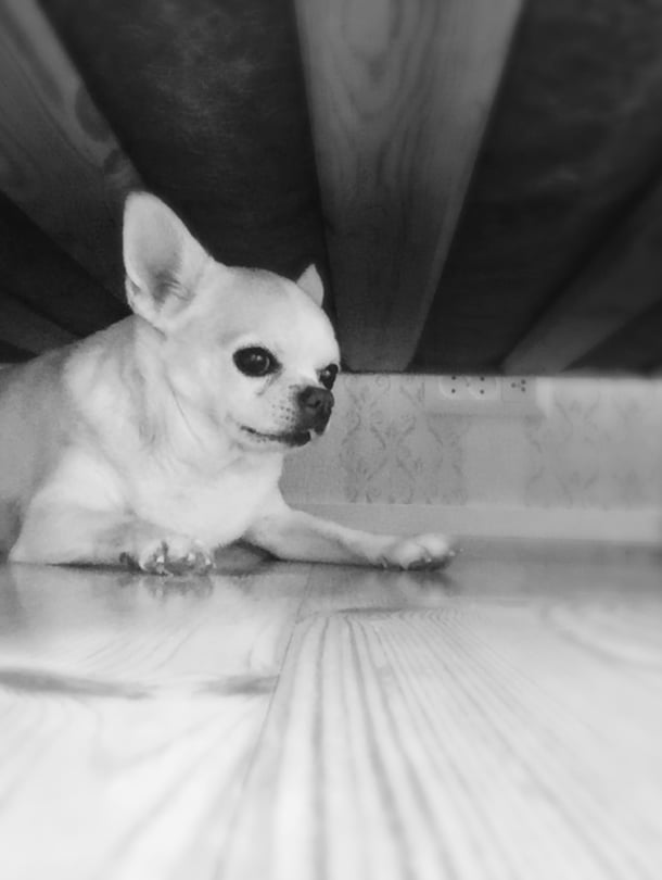 """Sana """"kynnenleikkuu"""" sai chihuahua Topin pakenemaan sängyn alle."""