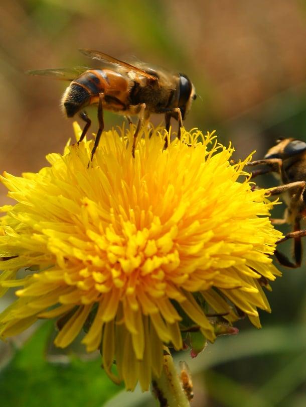 Ampiaisen pisto voi aiheuttaa herkimmille voimakkaan allergisen reaktion.