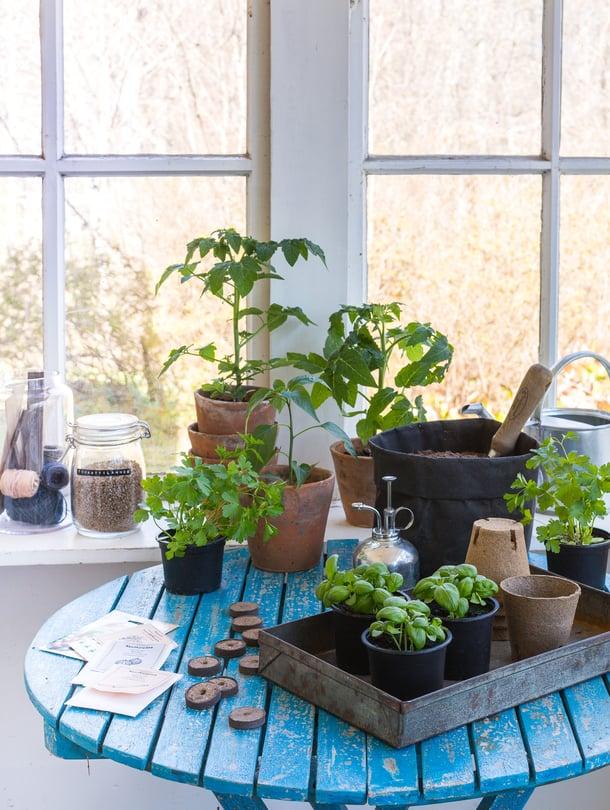 Kiri kevään tuloa ja istuta keittiötarhan taimet. Tomaatti ja chili kannattaa kylvää juuri nyt, persiljan ja basilikan ehdit kylvää muutama viikko myöhemminkin.