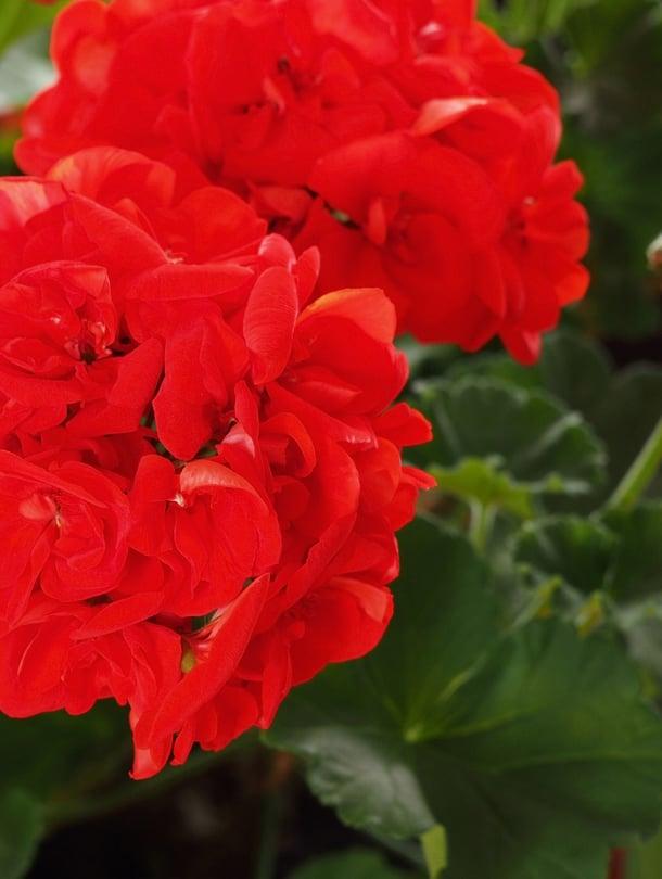 Perinteiset punaiset pelargonit ovat kestävimmästä päästä. Oikealla hoidolla ja kukkien nyppimisellä kaikenväriset kukoistavat!