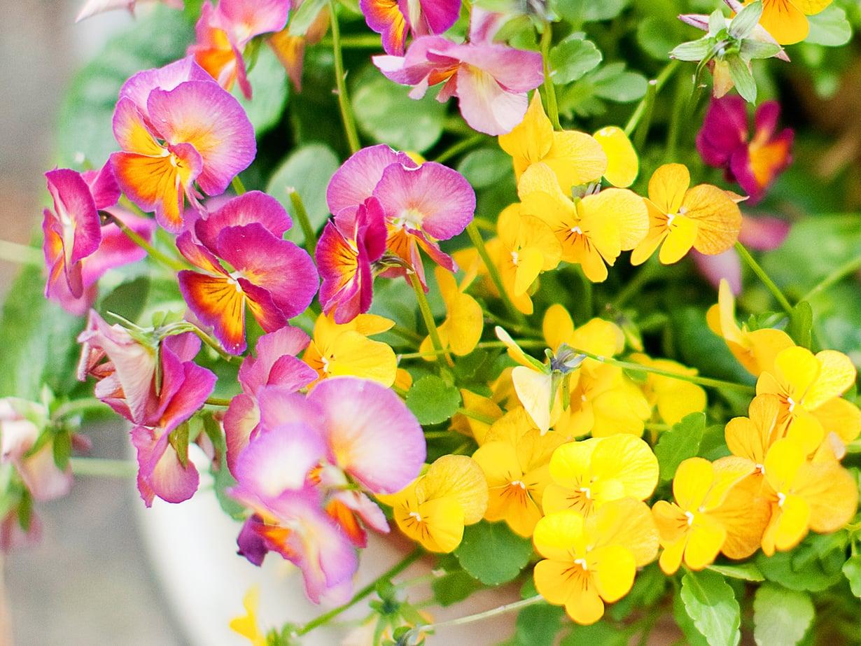 Kesäkukka rakastaa lannoitetta ja ilahtuu kastelukiteistä. Pienet asiat vaikuttavat paljon kukintojen määrään.