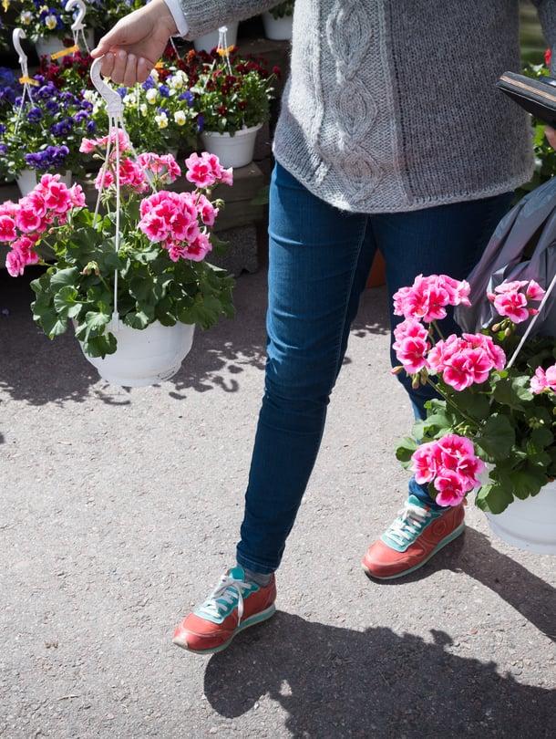 Hyvällä hoidolla pelargonit kukkivat yhtä komeasti koko kesän.
