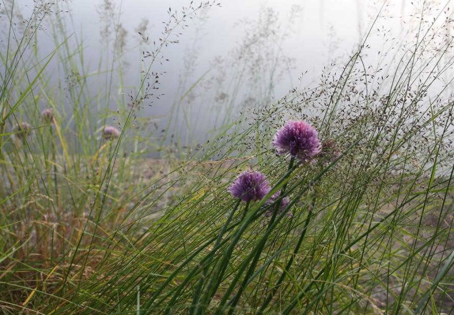 Ruohosipulin kukka on kesän söpöimpiä.
