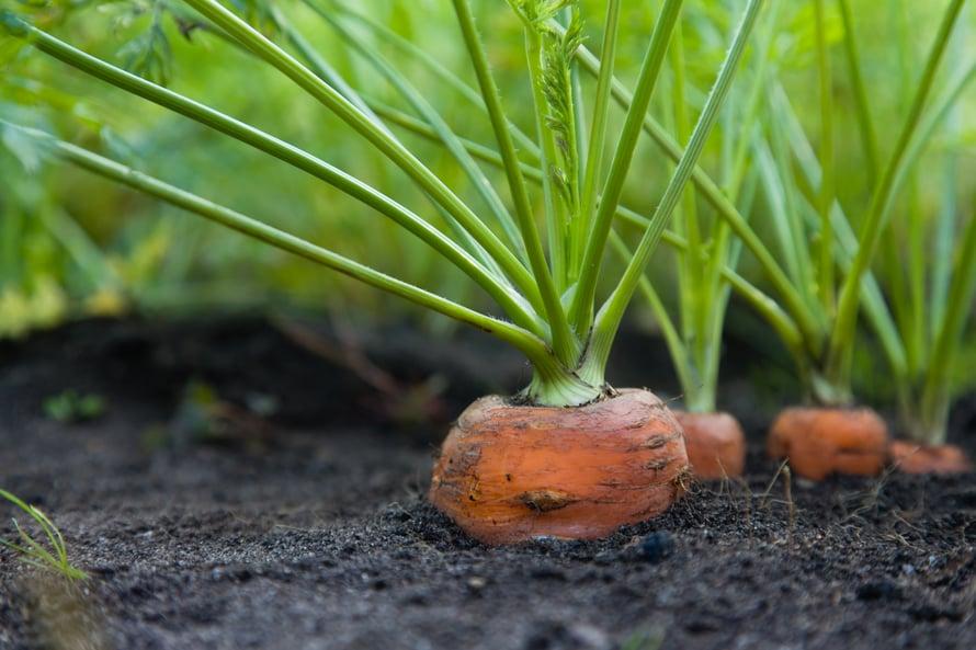 Syksyllä kylvetyt porkkanat ehtivät kasvaa isoiksi aikaisemmin.