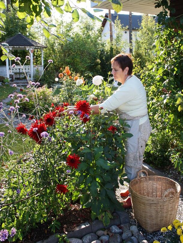 Daaliat kukittavat Marjatta Läspän puutarhaa vielä syyskuussakin, aina siihen asti, kunnes halla vierailee.