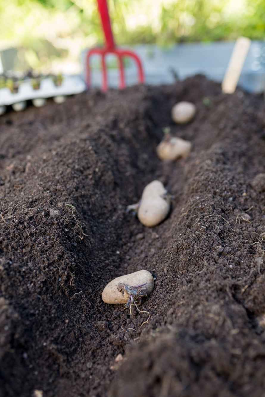 Tee lämmenneeseen maahan siemenperunoille noin 10 senttiä syvä vako ja asettele perunat siihen noin 20-30 sentin välein.