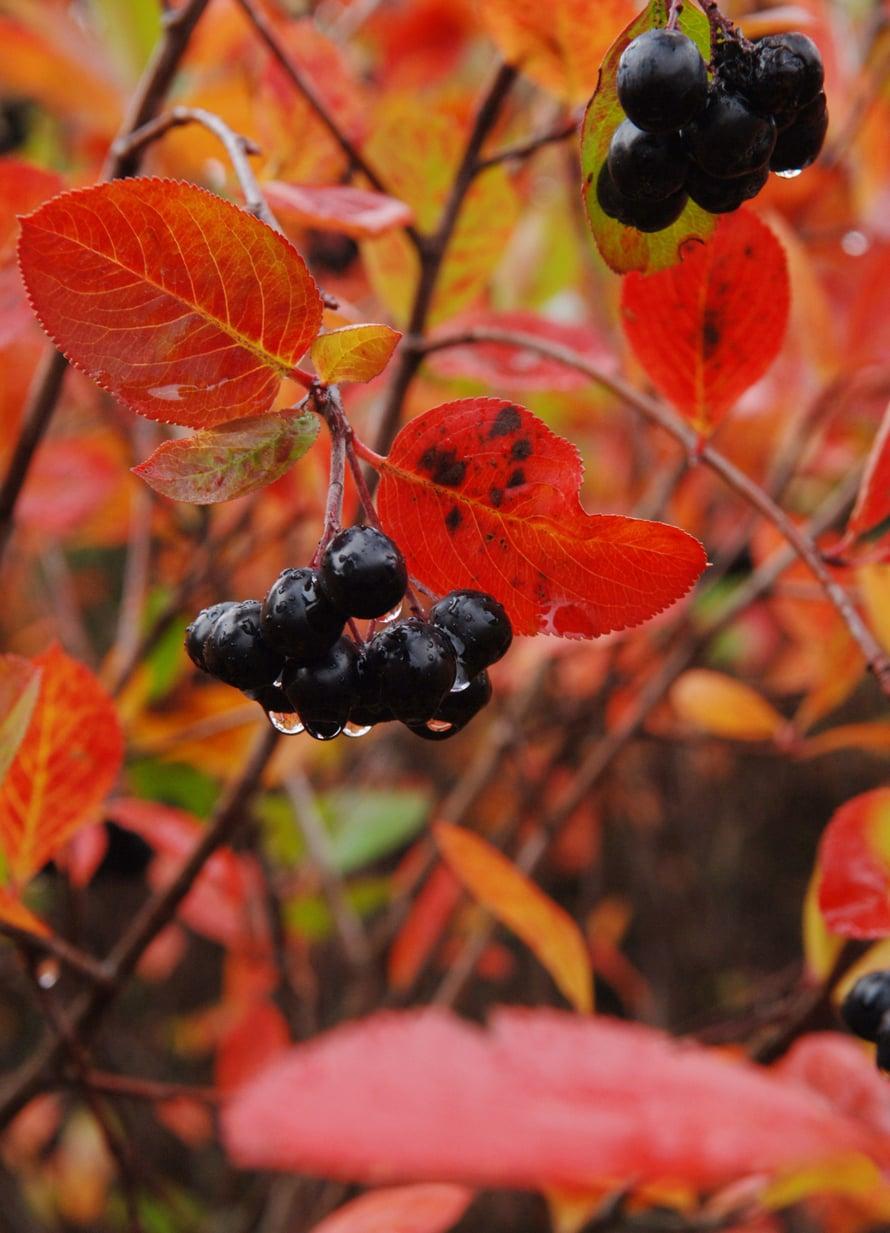 Aronian tummat lehdet saavat syksyllä hehkuvanpunaisen ruskan.