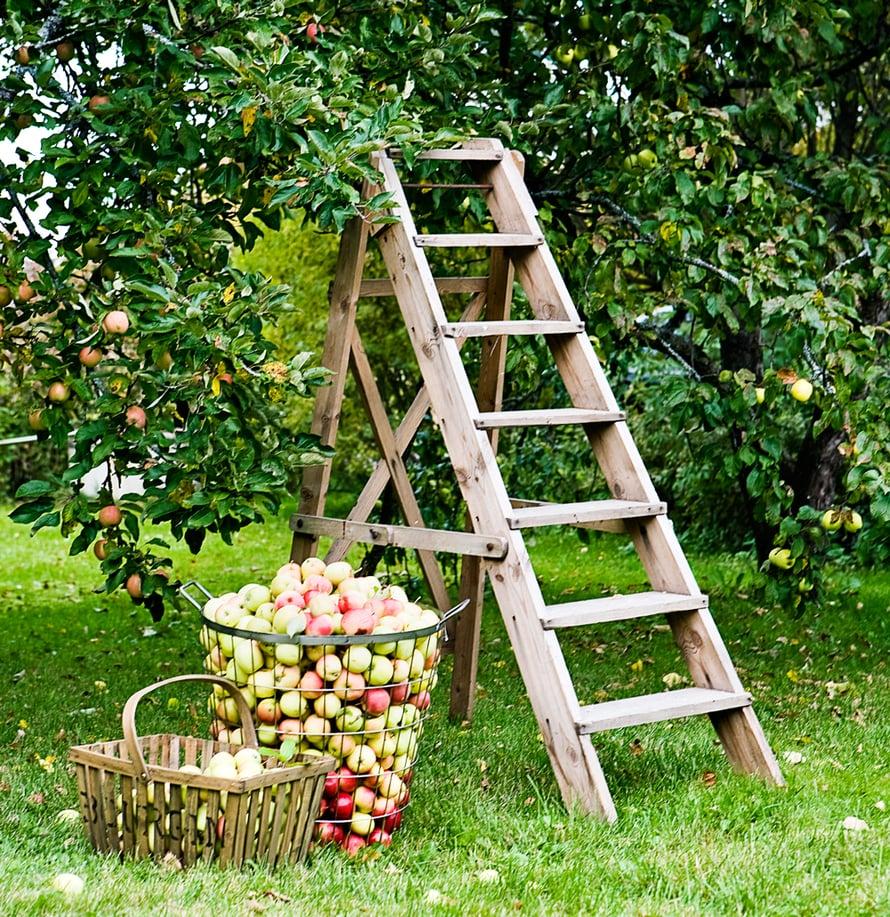 Omenapuiden hoitoleikkaus kannattaa tehdä juuri näihin aikoihin, kevättalvella.
