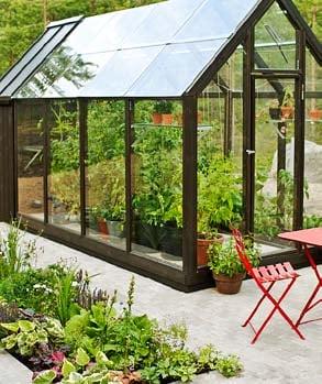 Suuren kasvihuoneen lämmössä taimet venyvät pituutta ja kantavat satoa.