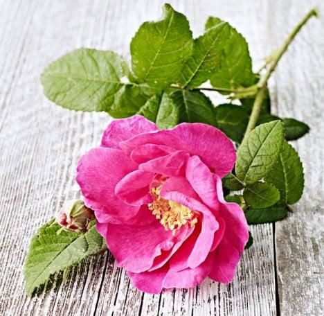 Aito ruusu on upea vaikkapa kakunkoristeena.