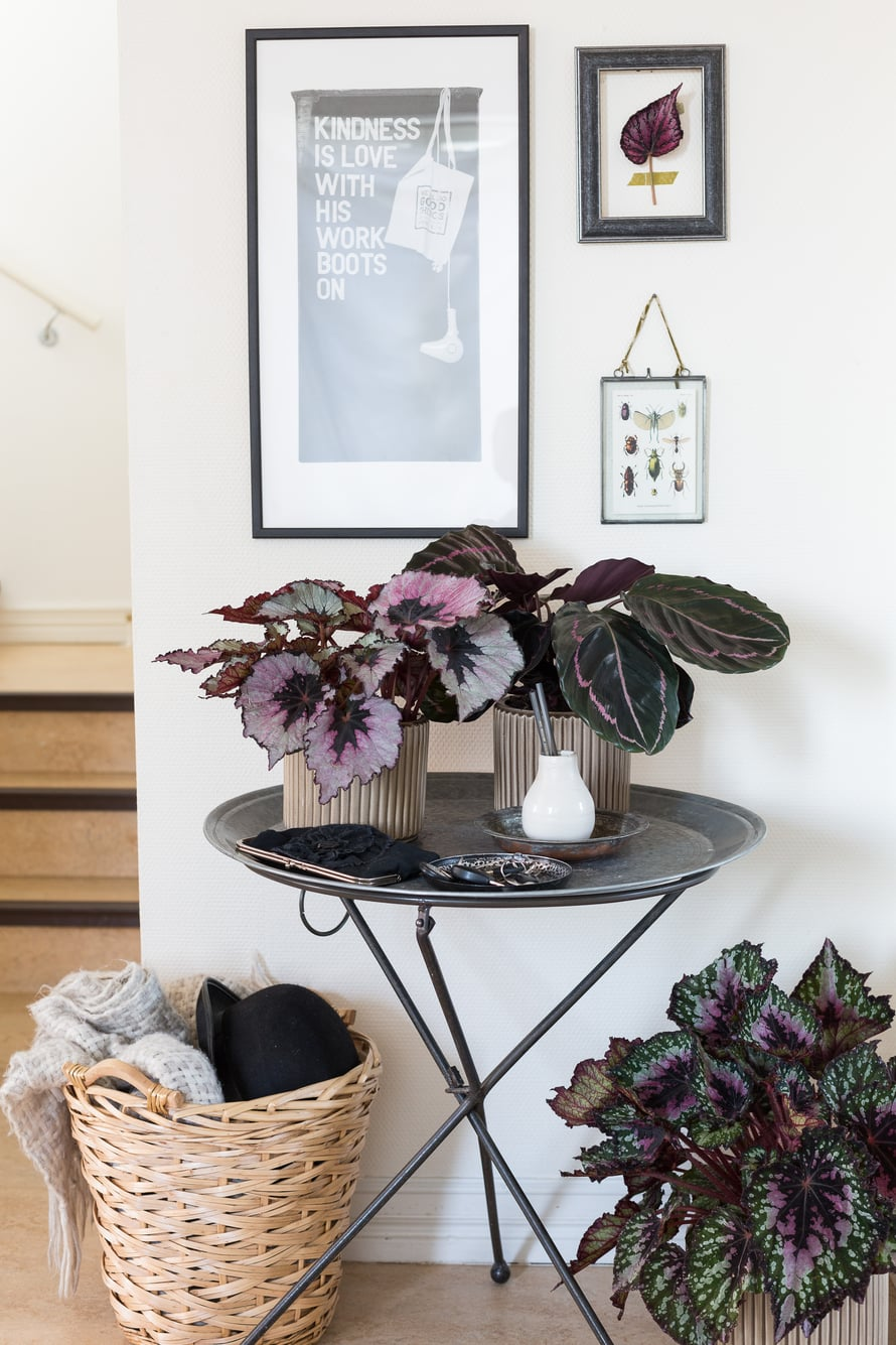 Trendikkäimmät kasvit säväyttävät violetilla ja vaaleanpunaisella. Vihreän- ja violetinkirjava isomaija on kotoisin trooppisista sademetsistä ja luo kookkailla lehdillään eksoottista tunnelmaa. Kuningasbegoniaa kannattaa kokeilla, jos mielii todella erikoisia lehtiä. Se sopii sisälle hajavaloon tai ulos varjoisaan ruukkupuutarhaan. Valoisassa paikassa kuningasbegonia saattaa myös kukkia. Kasvi on kuitenkin hallanarka, joten myöhään syksyllä ja aikaisin keväällä ruukut on syytä pitää sisällä.