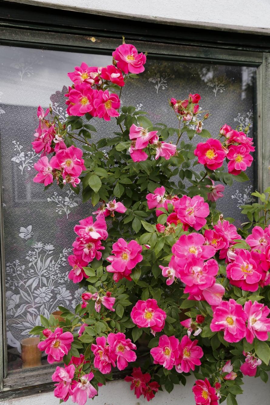 Yhdessä 'William Baffin' -köynnösruusun tertussa voi olla kymmeniä kukkia.