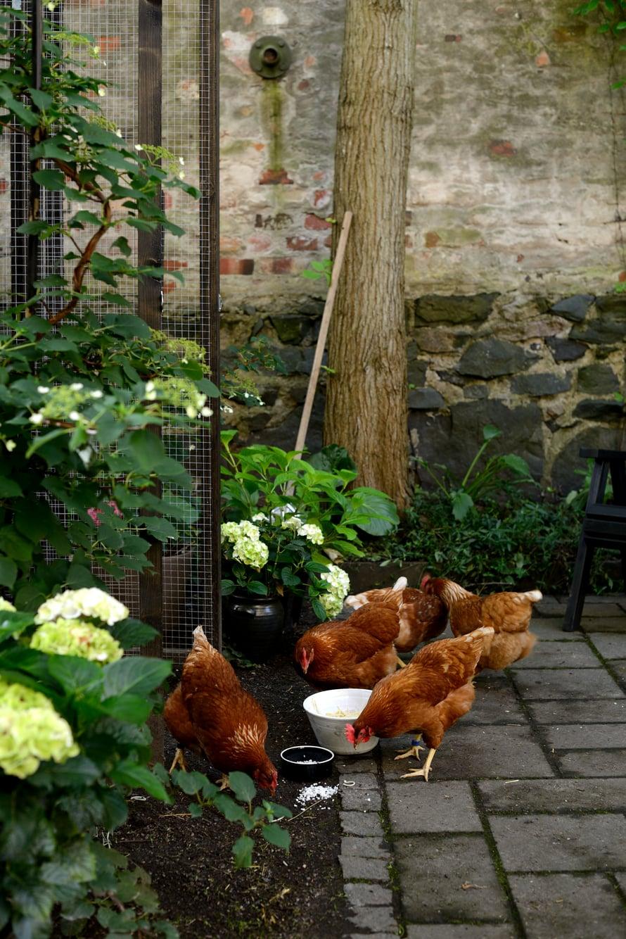 Ennen vanhaan kaupunkipihoilla oli kotieläimiä. Nämä kanat ovat ensimmäisiä Helsingin Ullalinnassa pitkään aikaan.