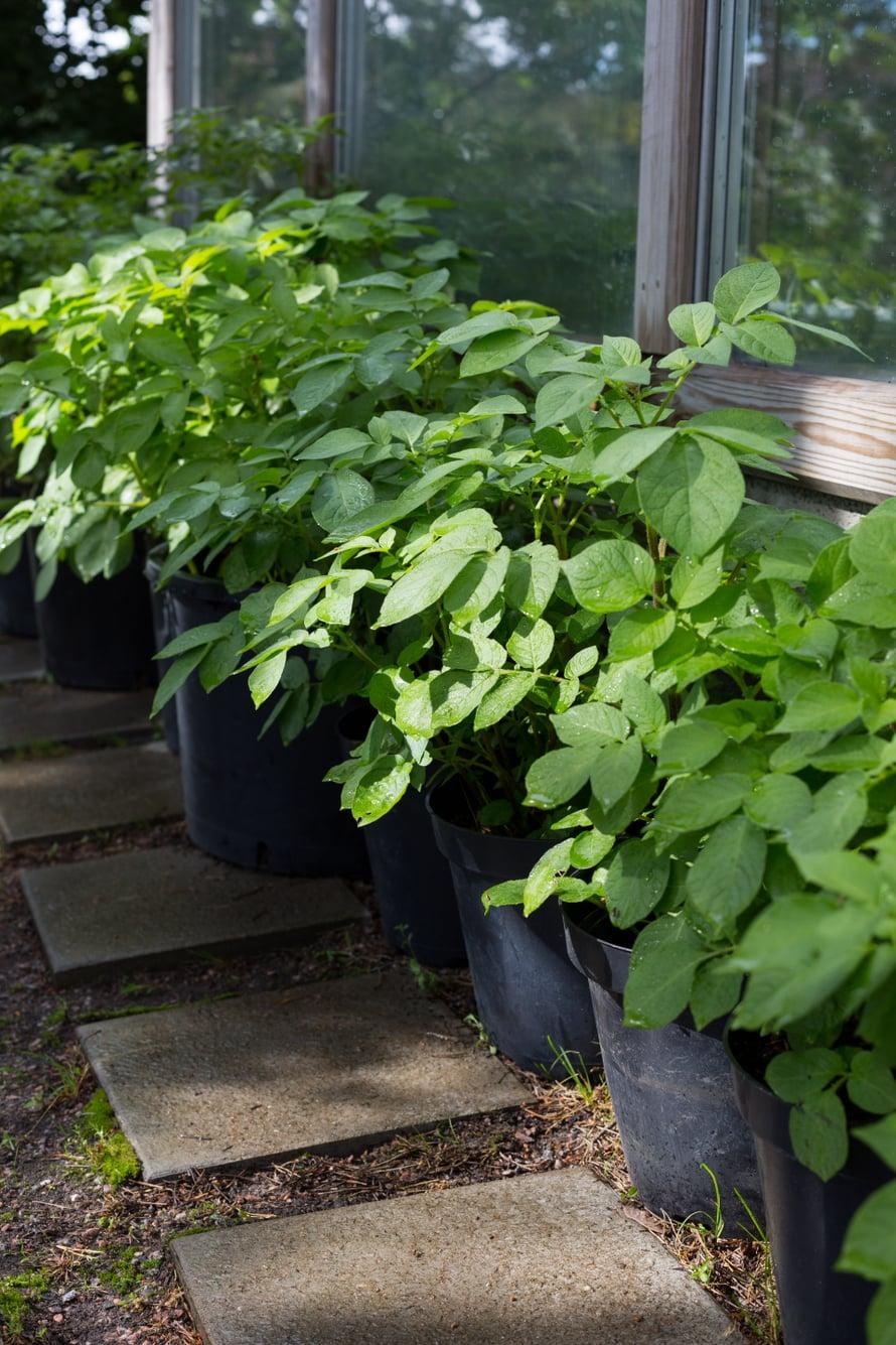 Ämpäristä tai suuresta taimiruukusta saa kattilallisen satoa.