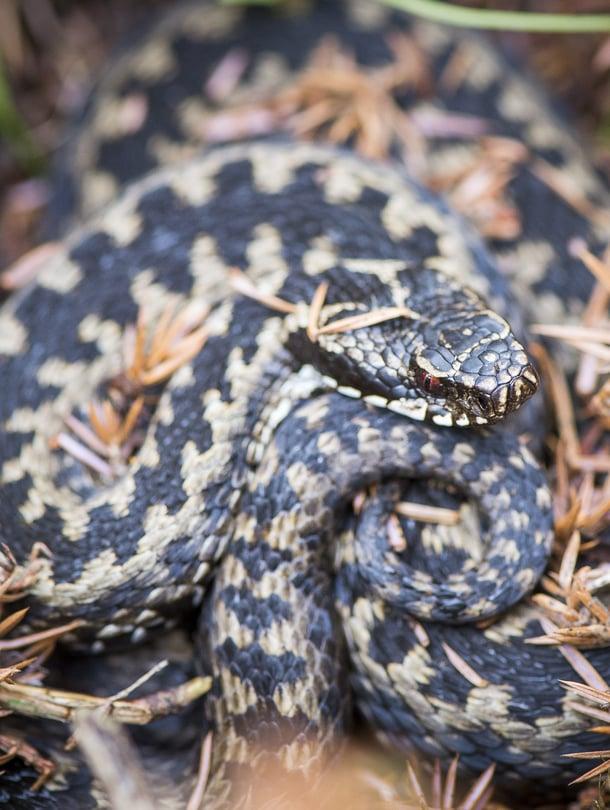 Kyykäärmeen elämässä on paljon yllättävää.