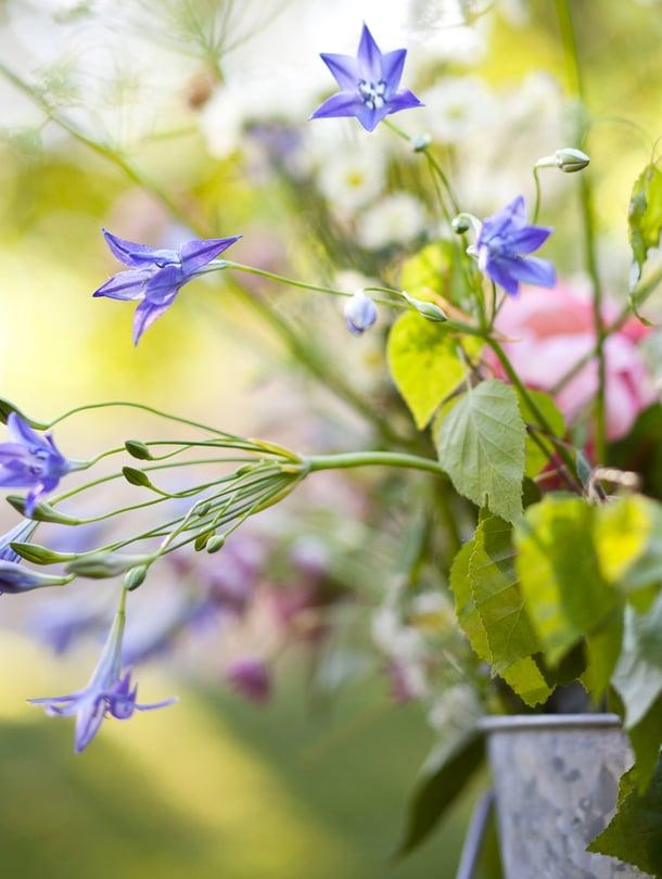 Juhannuksena kukat ovat kauneimmillaan, joten niitä kelpaa poimia kyllä.