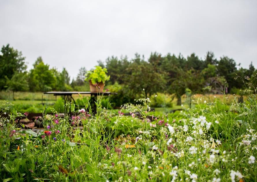 Niittykukkia ja kukkien väleissä kasvavia yrttejä – pörriäisten paratiisi!