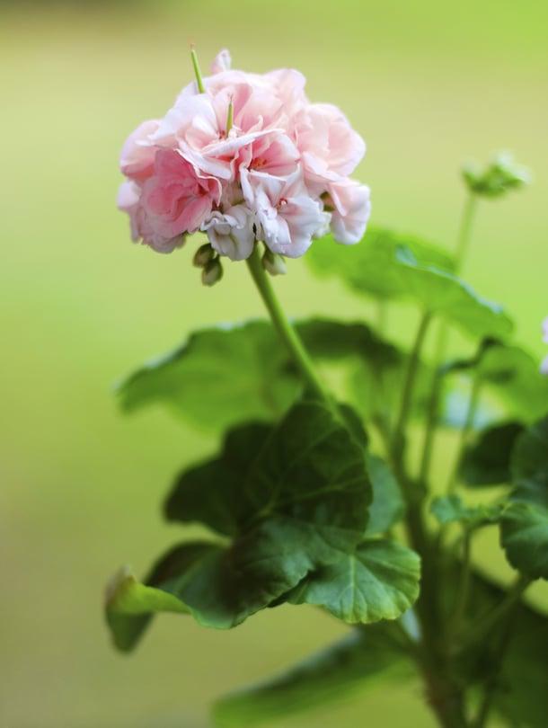 Pelargoni voi talvella kadottaa kauneutensa, mutta herätä ihanaan kukkaloistoon taas ensi kesänä.
