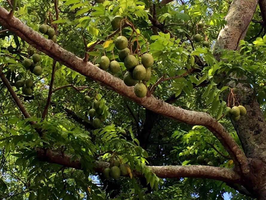 Marjon kotipihalla kasvaa yli 80 hedelmäpuuta. Talon takaa alkaa viidakko.