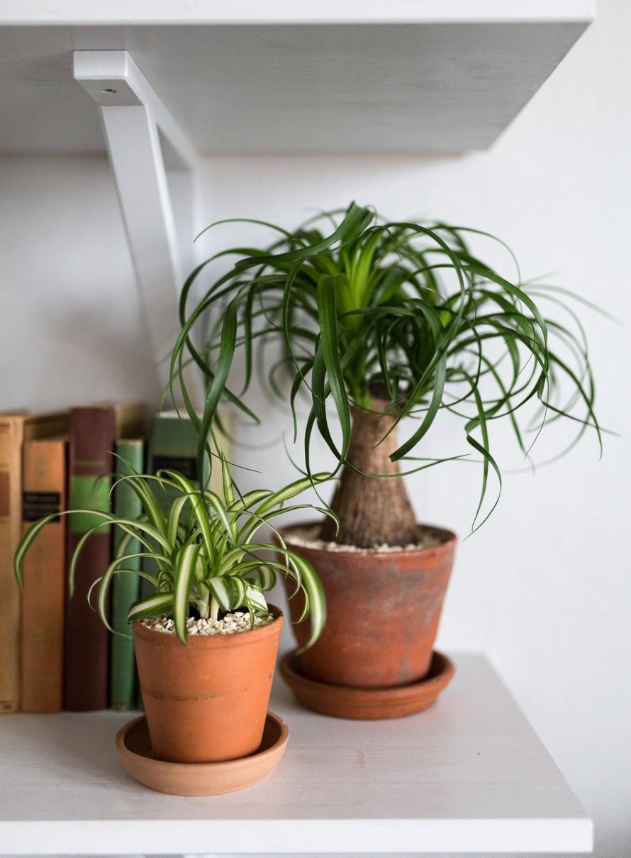 Rönsylilja ja pullojukka ovat viherkasveista helppohoitoisimpia. Rönsyliljasta on sekä vihreitä että valko- ja keltakirjavia lajikkeita. Se kasvattaa versojen päihin taimenalkuja, joista saa uusia hoidokkeja multaan juurruttamalla. Rönsylilja sietää monenlaisia oloja eikä nuupahda, vaikka tarhuri joskus unohtaisi kastelun.