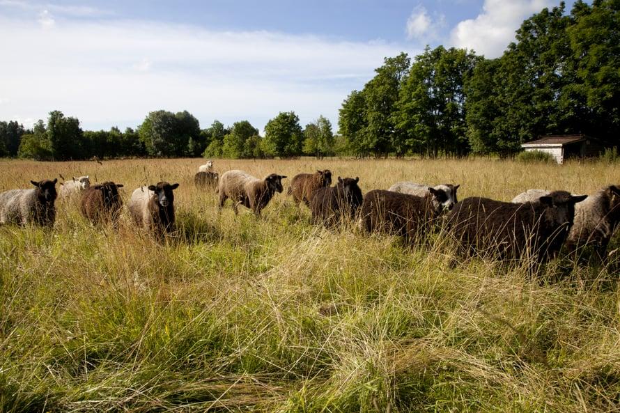 Laiduntavat lampaat ovat Muhulla yleinen näky.