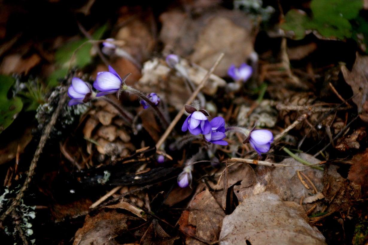 Keväinen metsä on ihana! Siellä voi tavata rakkaita vanhoja tuttuja.