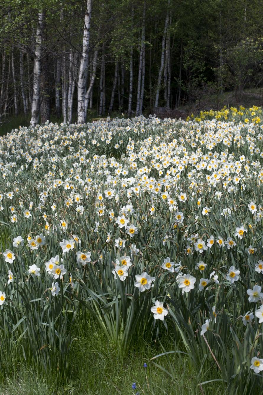 Laaja narsissiniitty on hätkähdyttävän kaunis, kuvassa tähtinarsissi 'Flower Record'.