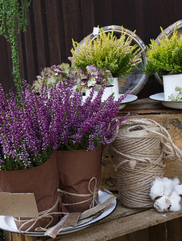 Yksi kikka kannattaa muistaa, kun on ostamassa kanervia: kokeile, että istutusruukku painaa eli kasvia on kasteltu eikä se ole päässyt kuivumaan.
