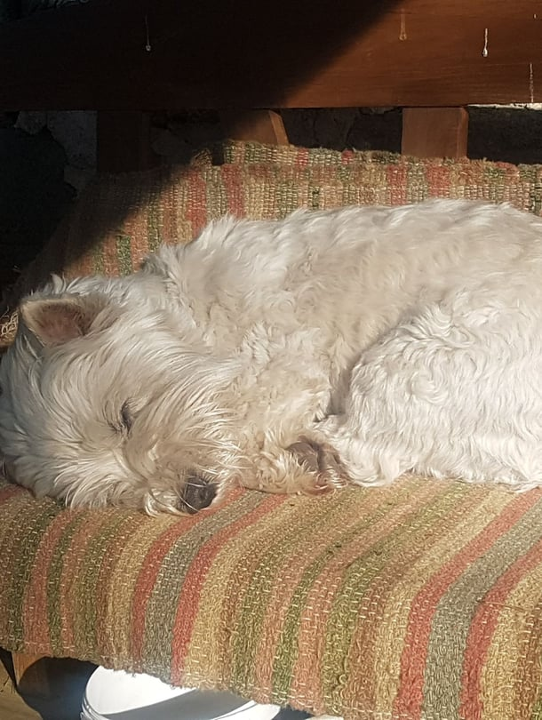 Eetu-terrieri ottaa päiväunet mielellään auringossa.