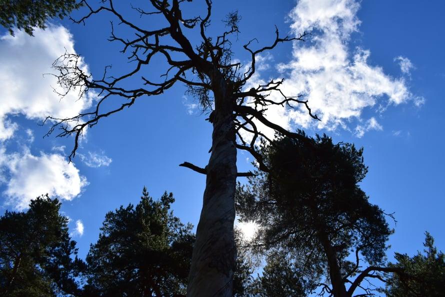 """J bongasi Linnamäeltä aika hienonnäköisen puun,  ja jäimme pohtimaan onkohan sillä jotain tarinaa, vai onko vaan """"puu muiden joukossa""""?"""