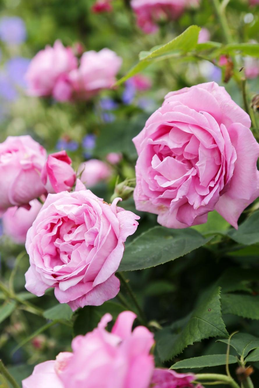 'La Noblesse' -kartanoruusun uhkeissa kukissa on voimakas tuoksu.