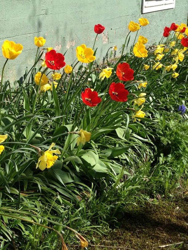 Sieltä ne nousevat ensi keväänä, kaikki suloiset sipulikukat!