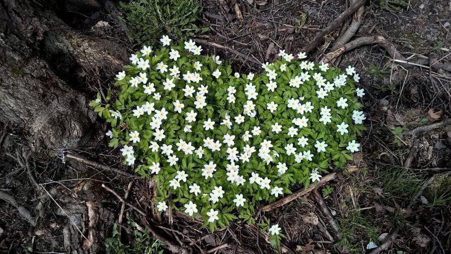 Keväisestä metsästä, kävelyreitin varrelta löytyi valkovuokoista muodostunut sydän. Kirsi