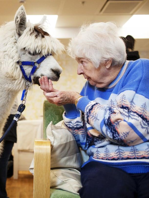"""Alpakkaherra Morrison on laumansa alfauros, joka rakastaa huomiota. Siksi se on mainio terapiaeläin. """"Parasta ohjelmaa on tällainen eläinvierailu"""", sanoo Helmi Lempiö, 95."""