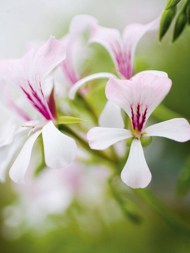 Pelargonian Hoito