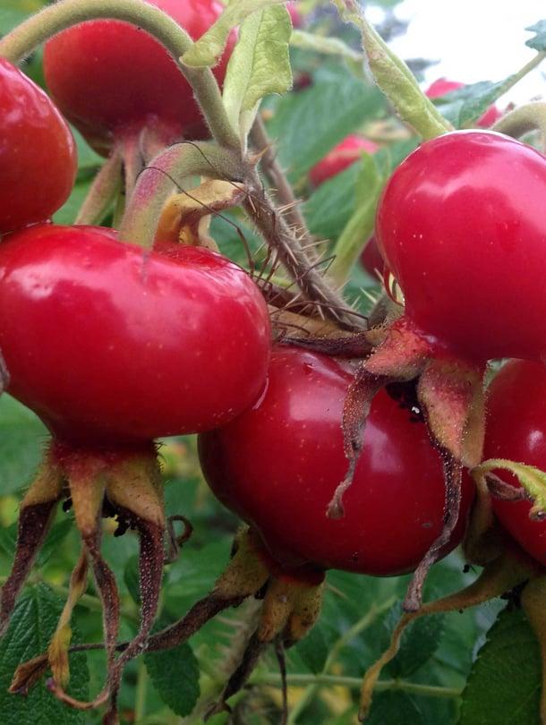 Ruusunmarjat sopivat ruuanlaittoonkin, parasta ne ovat kuivattuina tai soseena.